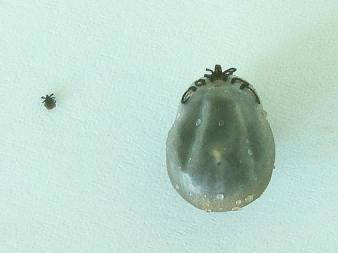Teken: larve en volgezogen vrouwtjesteek